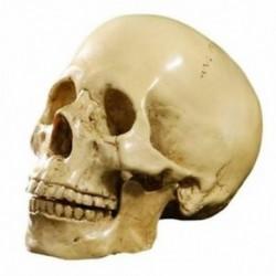 Élethű emberi koponya modell műgyantából - C3S8